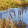 Photo of calamus stalks in the background of pond and yellow gra — Stock Photo #42779827