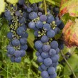 Growing wine grapes hanging from the stem, surrounded by colourf — Stock Photo