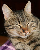 Cat squinting its eyes, oil paint stylization — Stock Photo