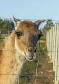 Curious lama looking through the fence, oil paint stylization — Stock Photo