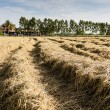 Harvested rice field — Stock Photo