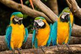 Blue-yellow macaw — Stock Photo