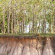 Stock Photo: In tree and section of soil. Erosion due to water erosion.