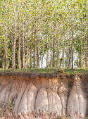 In the tree and section of soil. Erosion due to water erosion. — Stock Photo