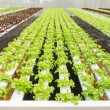 Stock Photo: Organic hydroponic vegetable farm