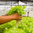 Organic hydroponic vegetable farm — Stock Photo #32783505