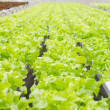 Organic hydroponic vegetable farm — Stock Photo #32783663