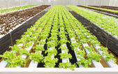 Organic hydroponic vegetable farm — Stock Photo