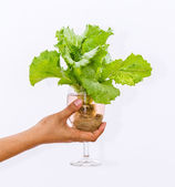 Fresh butterhead in wine glass over white background — Stock Photo