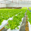 Hydroponic vegetable in a garden. — Stock Photo #32799063