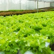 Stock Photo: Hydroponic vegetable in garden.