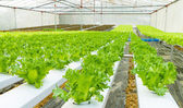 Hydroponic vegetable in a garden. — Stock Photo