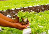 Hydroponic vegetable on hand in a garden. — Stock Photo