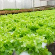 Stock Photo: Hydroponic vegetable in farm.