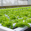 Vegetables hydroponics farms — Stock Photo