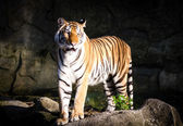 Asian tiger standing — Stock Photo