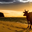 Sunrise silhouette of a cow on Beach — Stock Photo