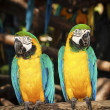 Couple blue-yellow macaw  — Photo