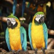 Couple blue-yellow macaw  — Stock Photo