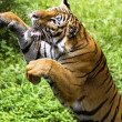 The fast motion of the jumping Bengal tiger — Stock Photo