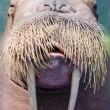 A walrus, closeup  — Stock Photo