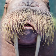 Walrus, closeup — Stock Photo #35700461
