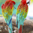 Macaw parrots in nature — Stock Photo #35700777