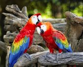 Colorful parrot macaws — Stock Photo