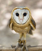野生的谷仓猫头鹰 — 图库照片