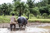 Farmer plowing a field using a buffalo — Stock Photo