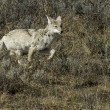 Coyote Running — Stock Photo