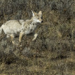 Stock Photo: Coyote Running