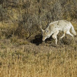 Coyote Stalking — Stock Photo