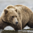 Coastal Brown Bear Stalking Salmon — Stock Photo #33147657