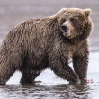 Stock Photo: Coastal Brown Bear