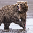 Coastal Brown Bear Warning — Stock Photo