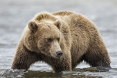 Coastal Brown Bear Stalking Salmon — Stock Photo