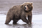 Coastal Brown Bear — Stock Photo
