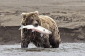 Coastal Brown Bear With Catch — Stock Photo