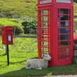 Sheep waiting for a phone call in Scottish Highlands — Stock Photo