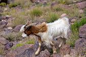 Moroccan Mountain Goat — Stock Photo