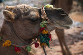 Camels Head — Stock Photo
