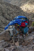 Donkey descending from Refuge du Toubkal  — Stock Photo