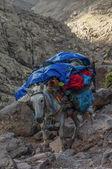 Donkey descending from Refuge du Toubkal  — Stock Photo