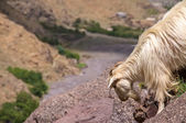 A white mountain goat near Toubkal — Stock Photo