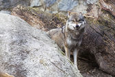 Angry Wolf — Stock Photo