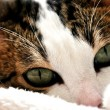 Feline eyes — Stock Photo