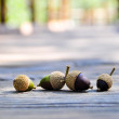 Acorns — Stock fotografie