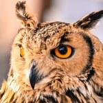 Owl with orange eyes — Stock Photo #45674981