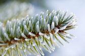 Frozen pine tree branch — Stock Photo